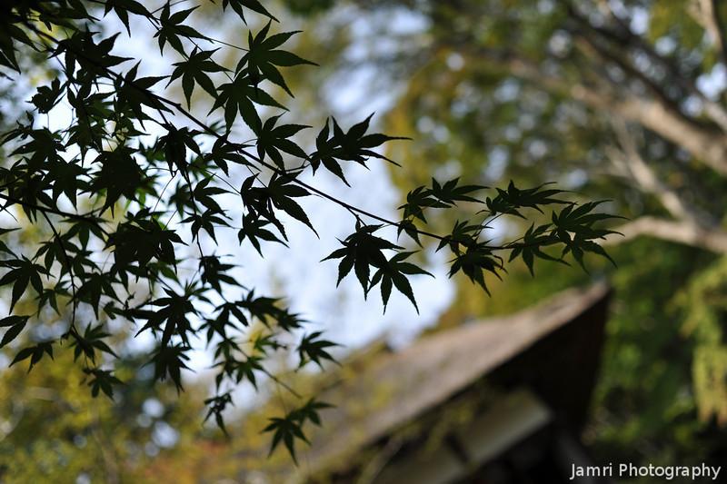 Maple Leaves by the Gate of Jojakko-ji.