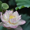 Lotus Blossom and Pod.<br /> At Nagaoka Tenmangu Shrine Park, In Nagaokakyo, Japan.