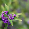 Purple Berries.
