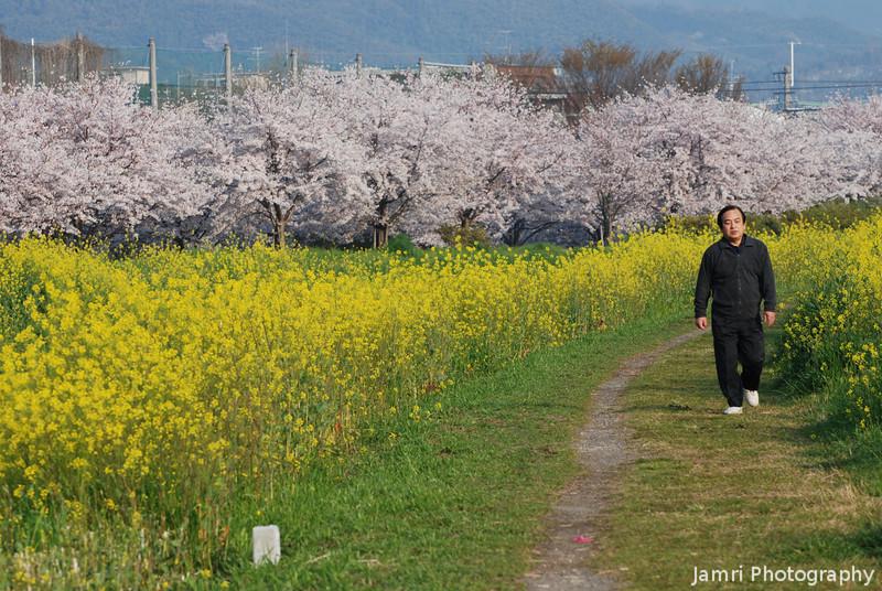 The Peak of Spring.<br /> The Sakura and Nanohana at their peak.