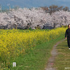 The Peak of Spring.<br /> The Sakura and Nanohana at their peak.