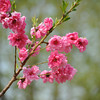 A Bunch of Peach Blossoms.