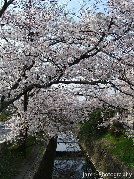 Full Bloom.<br /> Sakura in Nagaokakyo.