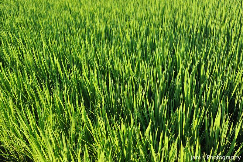 Rice Field in Morning Light.