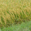 More Drenched Heads of Rice.<br /> After the rain.