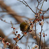 Bird in a Plum Tree 3.<br /> I'm glad I brought the 70-300VR lens on this outing, it's the only lens in my kit that's auto-focus motor can keep up with these little birds.