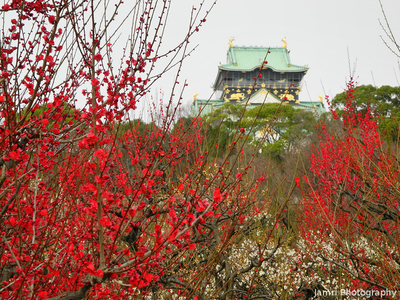 Red Ume and Osaka Castle.