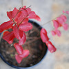 The Plant Ablaze.<br /> The plant which Bob Walker bought for his sermon illustration, goes bright red before losing it's leaves.
