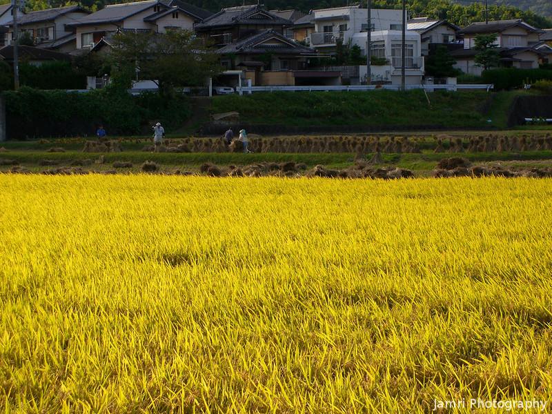Golden Field.<br /> Harvest time in Nagaokakyo.