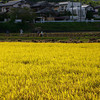 Golden Field.<br /> Harvest time in Nagaokakyo.