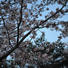 Looking up to the Evening Sky from beneath a Sakura.<br /> A late blooming Sakura at Nagaoka Tenmangu Shrine.