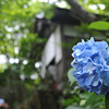 Blue Hydrangea outside a Temple Building.<br /> At Youkoku-ji in Nagaokakyo.