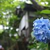 Blue Hydrangea outside a Temple Building.<br /> At Youkoku-ji in Nagaokakyo.