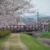 Freight Train passing the Sakuras.
