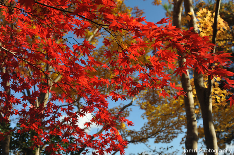 Reds and Yellows.<br /> In Okochi Sanso, Arashiyama, Kyoto.