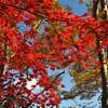 Reds and Yellows.<br /> In Okochi Sanso, Arashiyama, Kyoto.
