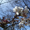 Catching some sun.<br /> A few more early blooms of the Sakura.