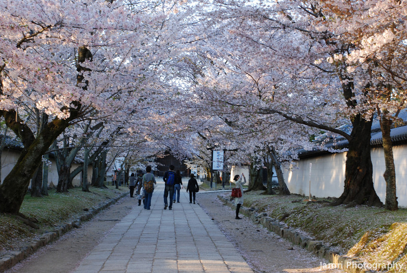 Sakura Canopy at Daigohigashiojicho, Kyoto.