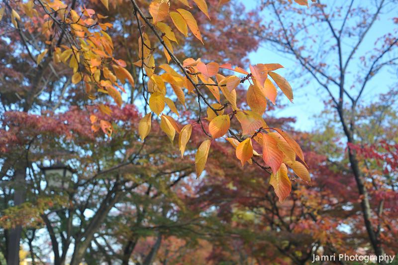 Orange sakura leaves.