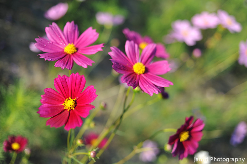 A Bunch of Cosmos.