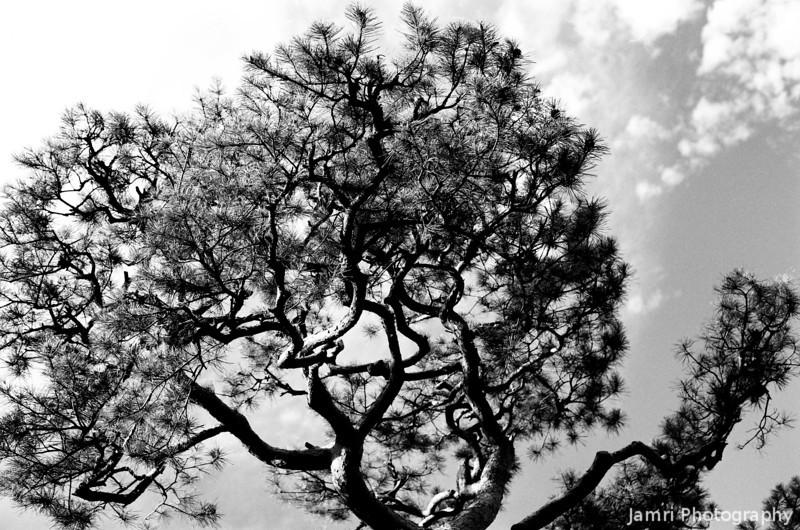 Pine Against the Sky.<br /> Note Film Shot: Nikon F80 + 50f/1.8 + Orange Filter + Fujifilm Neopan Acros