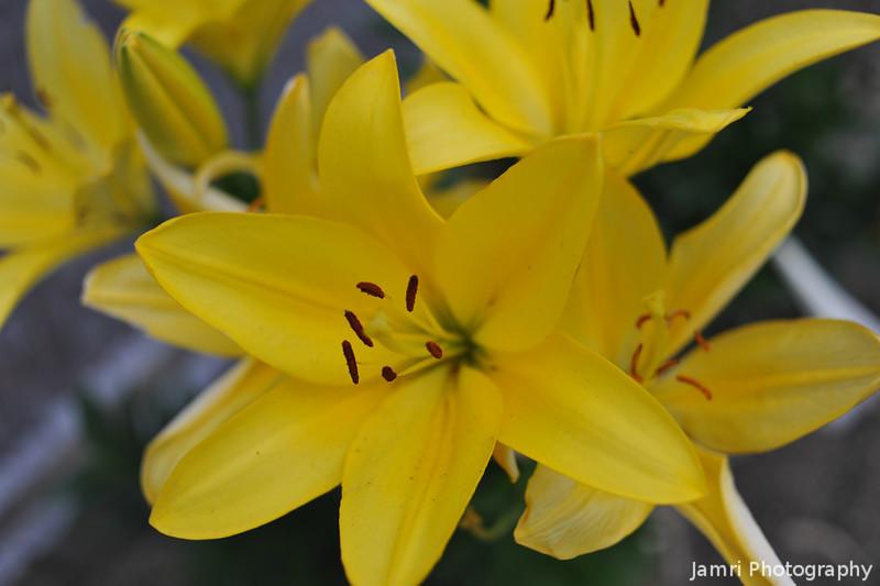 Big Yellow Liliums.
