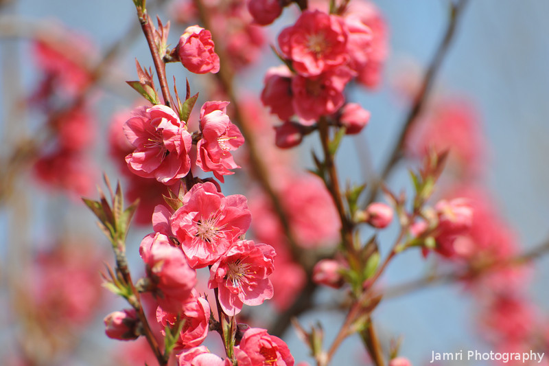 Bunches of pink.<br /> Peach (Momo) blossoms.