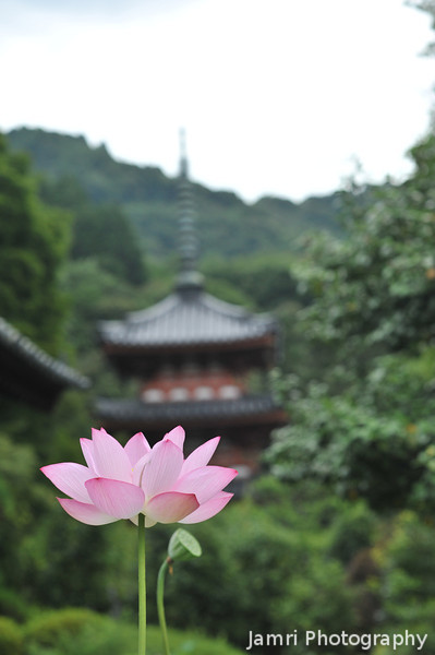 Lotus and Pagoda.<br /> At Mimuroto-ji (a Buddhist Temple) near Uji, Kyoto.