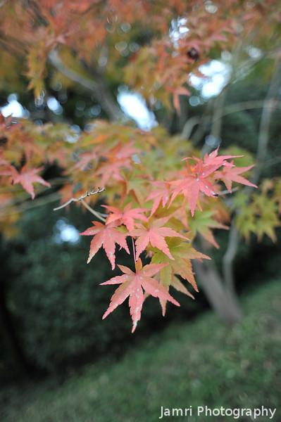 The Start of the Momiji (Maple) Season.