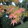 The Start of the Momiji (Maple) Season.