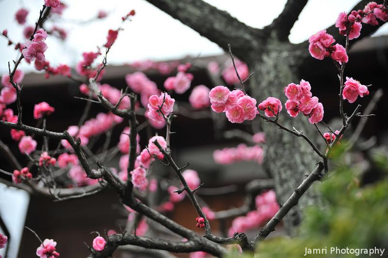Plum Blossoms Galore!