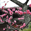 Plum Blossoms Galore!