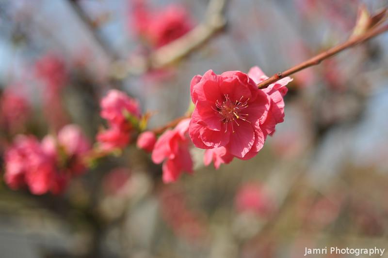 Pink Peach (Momo) Blossoms.