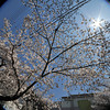 Under the Sakura.<br /> Shot with a Sigma 10-20 (crop lens) on a Full Frame Camera (Nikon D700) for the circular effect.