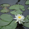 Water Lily.<br /> At Nagaoka Tenmangu Shrine Park, Nagaokakyo, Kyoto.