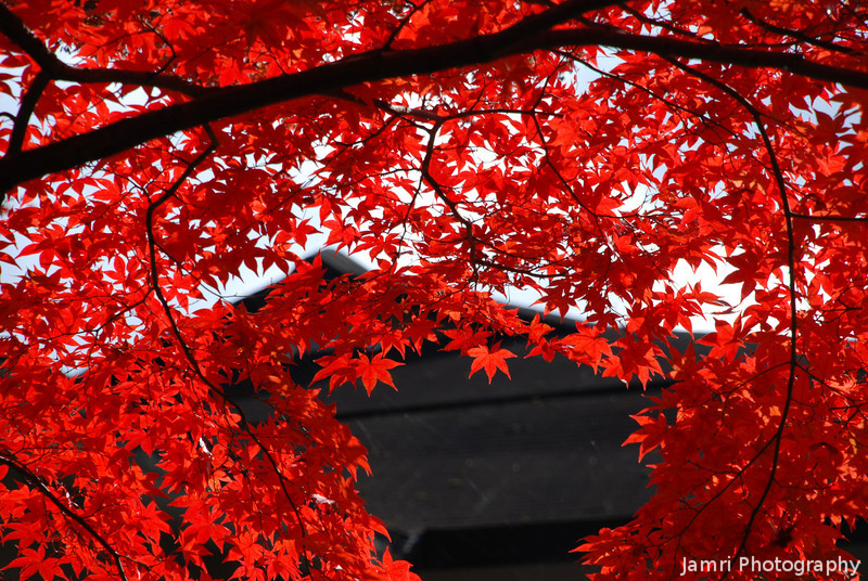Curvaceous Maple.<br /> At Komyo-ji (a Buddhist Temple) in Nagaokakyo.