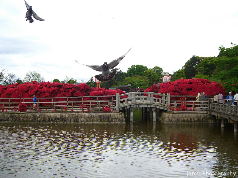 Flight of the pigeons.<br /> At Nagaoka Tenmangu Shrine Park, during Azalea season.