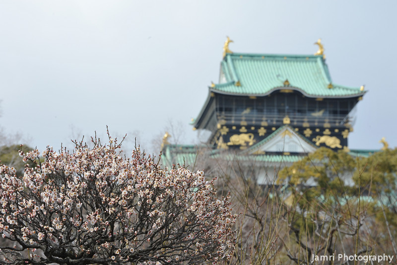 A wider shot of a Ume (Plum) tree near the castle.