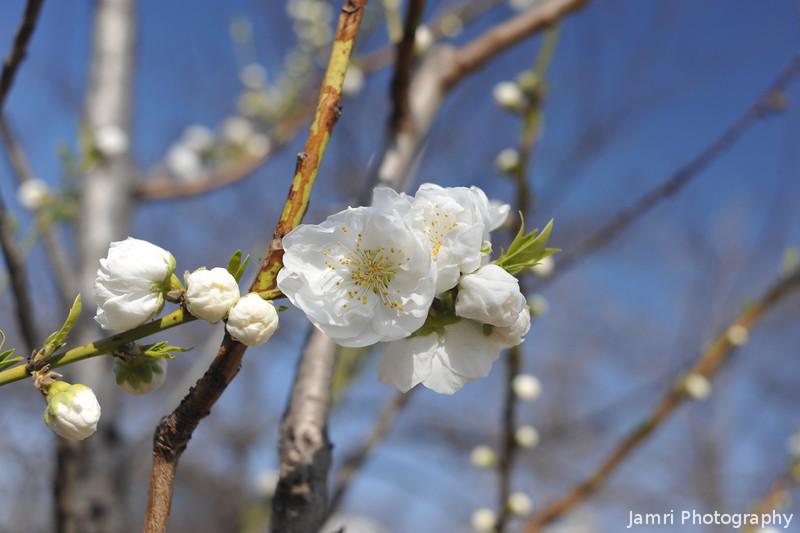 White Peach Blossoms.