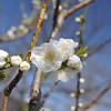 White Peach Blossoms.