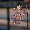 Traditions.<br /> Part of a Shidarezakura (weeping cherry) against a tradition Japanese building background.