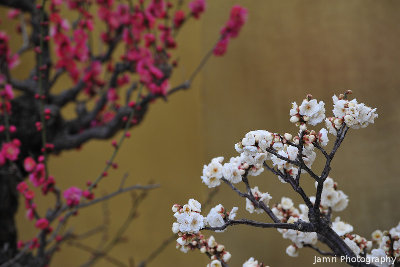 The two colours of Ume (Plum).<br /> At a Bonsai Ume display in the grounds of Osaka Castle.