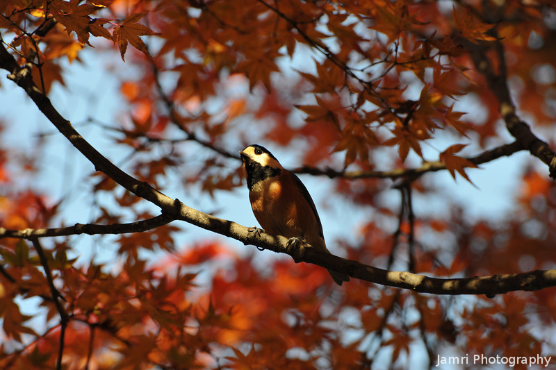 Looking up.<br /> Another bird in a maple tree.