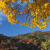 Yellow Leaves, Blue Sky, Coloured Hills.