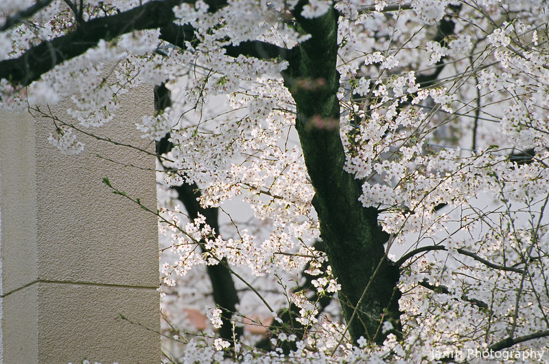 Somei Yoshino<br /> This is the most common variety of Sakura in Japan. When it blossoms it's time to celebrate, the winter is over.<br /> Note Film Shot: Nikon F80 + Nikkor AF-S 70-300 f/4.5-5.6 VR + Fujicolor PRO400