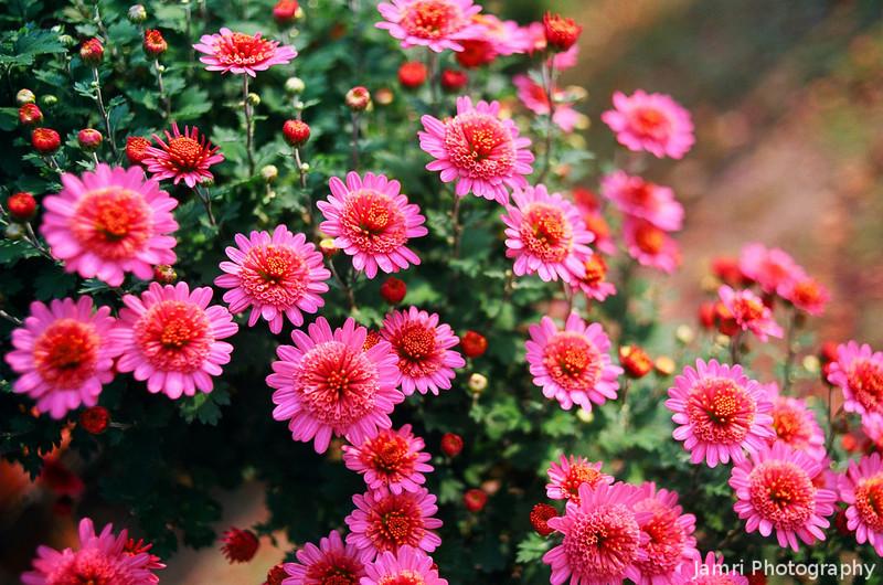 The Rich Colour of Pink Chrysanthemums.<br /> Note Film Shot: Nikon F80 + 35f/2 Lens + Kodak Ektar 100