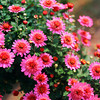 The Rich Colour of Pink Chrysanthemums.<br /> Note Film Shot: Nikon F80 + 35f/2 Lens + Kodak Ektar 100