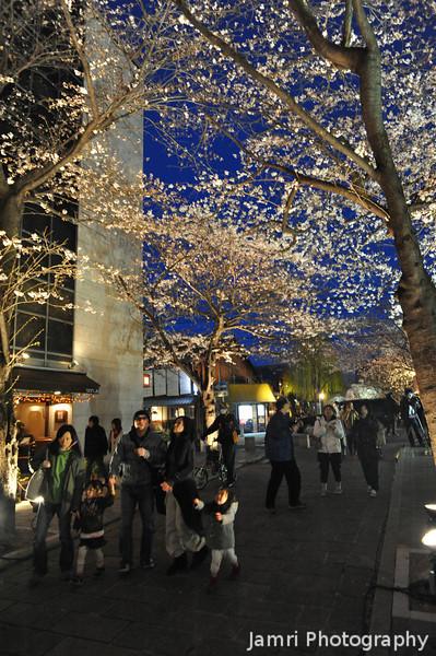 Enjoying the Sakura.