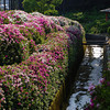 Azalea along the stream.