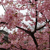 Sakura Criss-cross.<br /> Another view of the early flowing hybrid darker pink Sakura.
